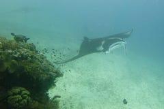 Undervattens- slut för Manta upp ståenden, medan dyka Fotografering för Bildbyråer