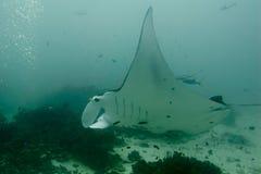 Undervattens- slut för Manta upp ståenden, medan dyka Arkivbilder