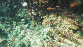 Undervattens- slut upp av en taggig hummer på islaespanolaen i de galapagos öarna lager videofilmer