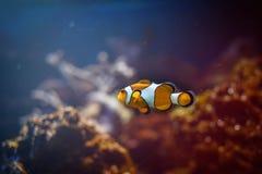Undervattens- små clownfish Royaltyfri Foto