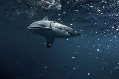 Undervattens- stor vit haj Fotografering för Bildbyråer