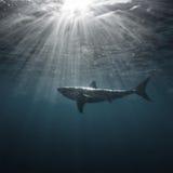 Undervattens- stor vit haj Royaltyfria Bilder