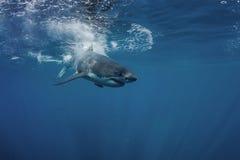 Undervattens- stor vit haj Royaltyfri Fotografi