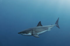 Undervattens- stor vit haj Arkivfoton