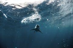 Undervattens- stor vit haj Arkivfoto