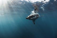 Undervattens- stor vit haj Arkivbilder
