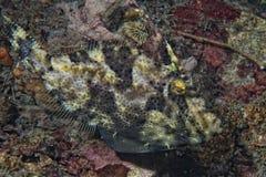 Undervattens- Triggerfish Arkivbild