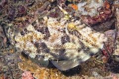 Undervattens- Triggerfish Royaltyfria Foton