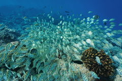 Undervattens- tropisk fiskskolgång på en korallrev royaltyfri foto
