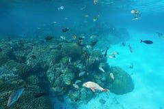 Undervattens- tropiska fiskar för franska Polynesien stim Arkivfoton