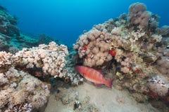 Undervattens- värld i Röda havet Arkivfoton