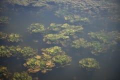 Undervattens- växt Royaltyfri Fotografi