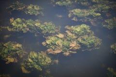 Undervattens- växt Arkivfoto