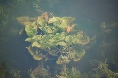Undervattens- växt Royaltyfri Foto