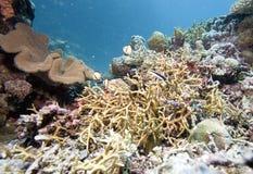 Undervattens- växter i Australien, det koraller, djupblå och klar havet Royaltyfri Bild