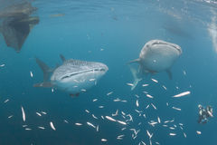 Undervattens- valhaj att närma sig en dykare under ett fartyg i det djupblå havet Royaltyfria Bilder