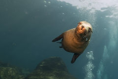 Undervattens- valpsjölejon se dig Arkivfoto