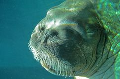 Undervattens- valross Arkivbilder