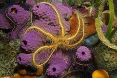 Undervattens- varelse en bräcklig stjärna över svamp arkivfoto