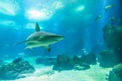 Undervattens- vit haj royaltyfri foto