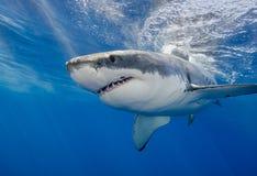 Undervattens- vit haj Arkivfoton