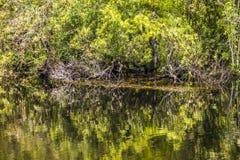 Undervegetation och rotar av mangrove Royaltyfria Foton