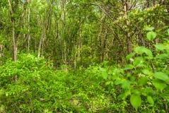 Undervegetation tungt skogsbevuxna Texas Royaltyfria Bilder