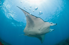 Underview of a mantaray. A mantray swimming along a reef, Zavora, Mozambique Royalty Free Stock Images