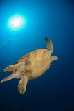 Underview of a sea turtle Stock Photography
