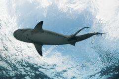 Underview of a tiger shark Stock Images