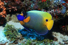 underwater аквариума angelfish снятый blueface Стоковая Фотография