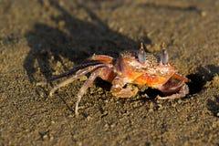 underwater морей жизни рака тропический Стоковые Изображения RF