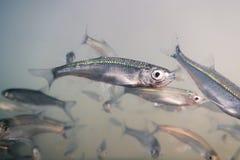 Underwater рыб приманки пресноводный Общий суровый конец вверх Стоковое Изображение RF
