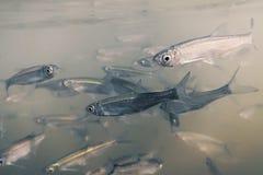 Underwater рыб приманки пресноводный Общий суровый конец вверх Стоковые Фото