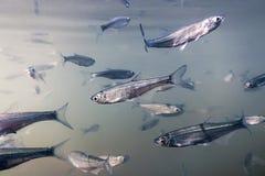 Underwater рыб приманки пресноводный Общий суровый конец вверх Стоковая Фотография RF