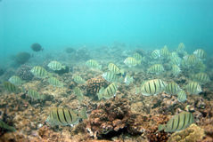 Underwater. Shot of tropical fishes in hawaii stock image