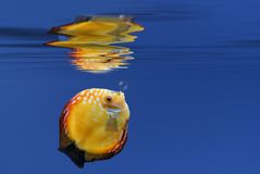 Underwater. Illustration of a tropical fish underwater Royalty Free Stock Image