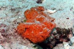 Underwater alaranjado do tamboril branco do Frogfish imagens de stock