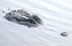 Underwater Alligator Stock Image