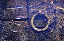 Underwater anchor background flooded old dock stone purple wall fishes molluscs attached.  royalty free stock images