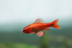 Free Underwater Aquarium Still Life Scene. Red Color Tropical Fish Barb Puntius Titteya Swim On Soft Blue Green Background Royalty Free Stock Photos - 90955288