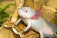 Underwater Axolotl portrait close up in an aquarium. Mexican walking fish. Ambystoma mexicanum stock photos