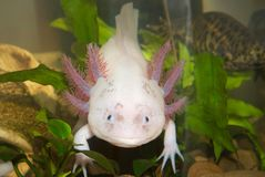 Underwater Axolotl portrait close up in an aquarium. Mexican walking fish. Ambystoma mexicanum. stock photo