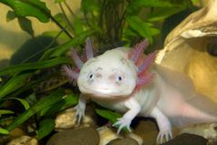 Underwater Axolotl portrait close up in an aquarium. Mexican walking fish. Ambystoma mexicanum. royalty free stock images