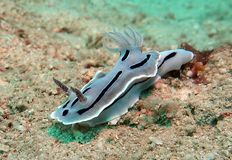 Underwater azul de Nudibranch Chromodoris imagens de stock royalty free