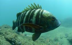 Underwater barrado dos peixes do pargo no Oceano Pacífico Imagens de Stock