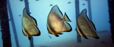 Underwater - Batfishes ( Platax orbicularis ). Underwater life : A group of batfishes ( Platax orbicularis ) is swimming below a ship-jetty in the red sea of Stock Photography