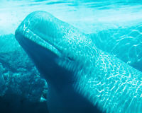 Underwater Beluga Whale. A Beluga Whale is seen through the glass at Sea World Royalty Free Stock Photos