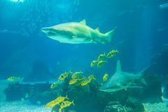 Underwater shark background Royalty Free Stock Images