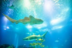 Undersea shark background. Underwater blue background with sunbeams. Schools of tropical fish and big sharks in turquoise water. Undersea marine life. Copy space Royalty Free Stock Photo
